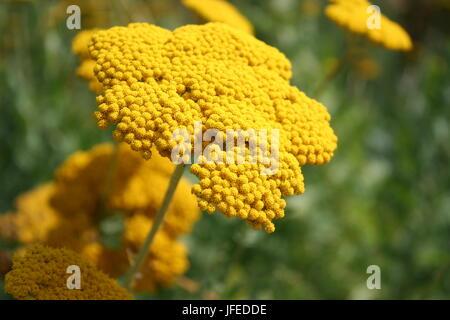 Blühende Schafgarbe oder Sneezewart - Stockfoto