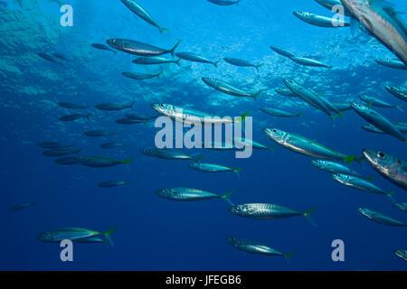 Pazifische Jack Makrelen, Trachurus Symmetricus Insel Guadalupe, Mexiko - Stockfoto
