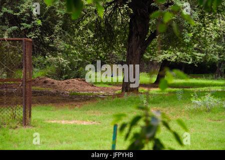 Indiens nationale Vogel Pfau in grüner Naturpark oder Wald im Monat Juni 2017 nach Regen Stockfoto
