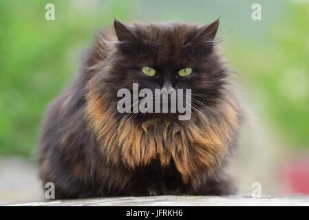 Schließen Sie lustige große braune Katze Porträt - Stockfoto