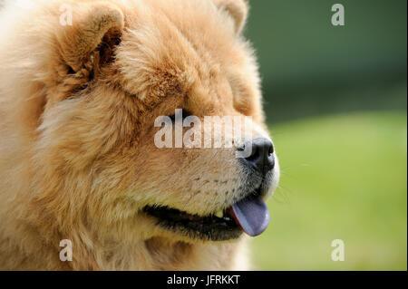 Nahaufnahme Portrait glücklich braun Chow-Chow Hund - Stockfoto