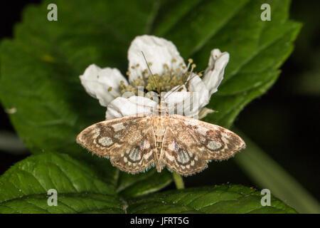 Anania Coronata Motte Stockfoto, Bild: 147913761 - Alamy