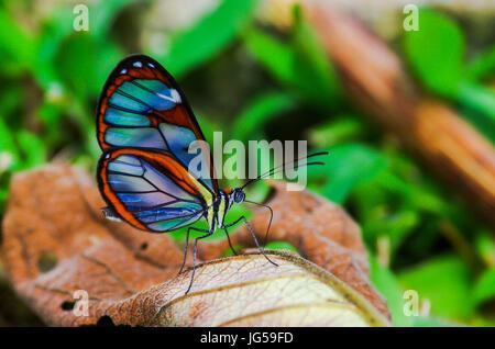 Glas geflügelte Greta Oto Schmetterling Aufnahme in Panama - Stockfoto