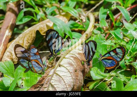 Herde von Glasswinged Greta Oto Schmetterlinge Fütterung in einer Gruppe - Stockfoto