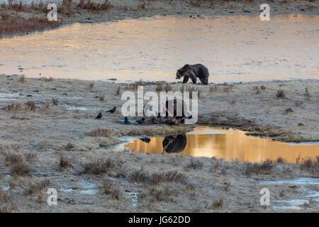 Grizzlybären und gemeinsame Raben Essen Bison Kadaver im Yellowstone National Park in Wyoming 24. März 2017.    - Stockfoto
