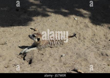 Erdmännchen ruhen - Stockfoto