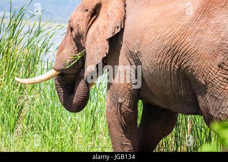 Elefant über Jipe-See, Tsavo West Nationalpark, Kenia - Stockfoto