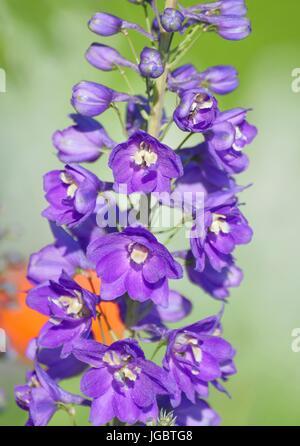 Rittersporn (Delphinium SP. L.), violette Blüte, Bayern, Deutschland - Stockfoto