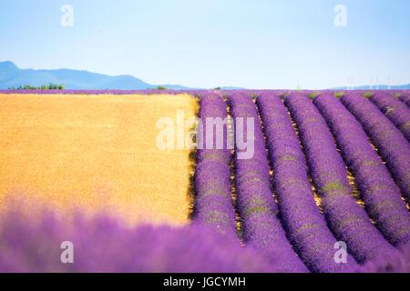 Plateau von Valensole, Provence, Frankreich. Lavendelfelder in voller Blüte - Stockfoto