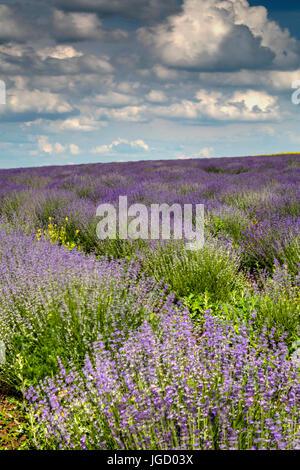 Wunderschöne Landschaft mit frischem Lavendelfeld und blauer Himmel - Stockfoto