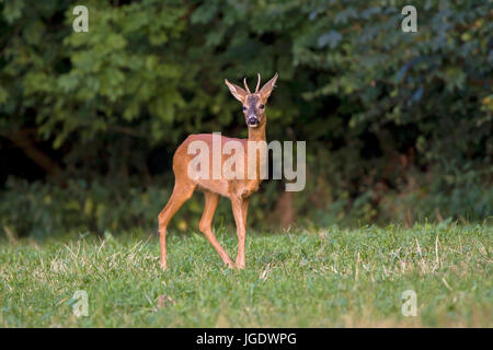 Reh Reh Rehbock Wild Stockfoto Bild 78015122 Alamy