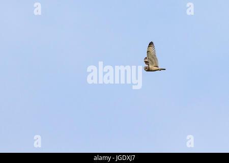 Marsh Ohr Eule, Asio Flammeus, Sumpfohreule (Asio Flammeus) - Stockfoto