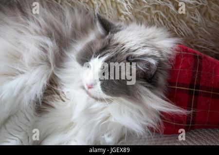 Eine schlafende Erwachsene Ragdoll Katze im Haus - Stockfoto