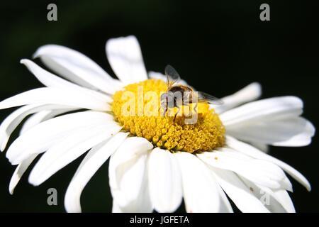 Marmelade zu schweben fliegen, Episyrphus Balteatus sitzt auf einem weißen Daisy Blume Chrysantheme Superbum. Close - Stockfoto