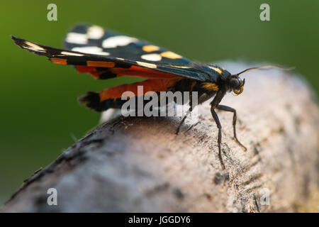 Scharlachrote Tiger Moth (Art Dominula) Profil zu ausruhen. Bunten britische Insekt in der Familie Erebidae, zuvor - Stockfoto