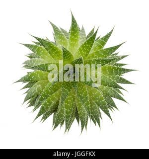 Sukkulenten Zimmerpflanze Aloevera von oben isoliert auf weißem Hintergrund - Stockfoto