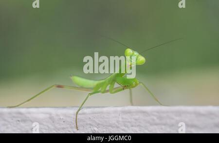 Nahaufnahme Makro grüne Heuschrecke Blick in die Kamera über unscharfen Hintergrund isoliert - Stockfoto