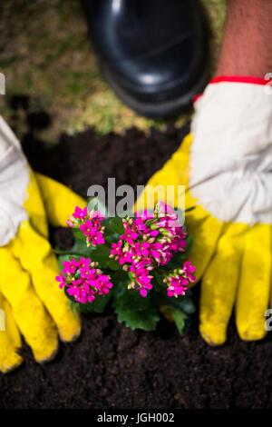 Hände der Person, die mit gelben Handschuhen rosa Blumen im Rasen Pflanzen beschnitten - Stockfoto