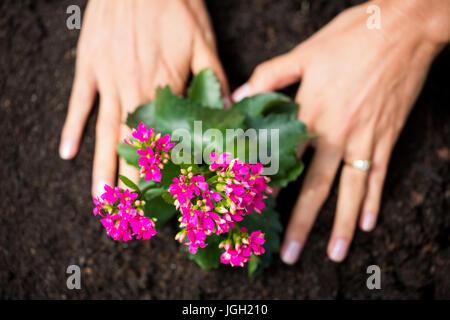 Hände von Frau Rosa Blumen im Rasen Pflanzen beschnitten - Stockfoto