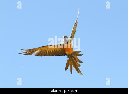 South American blau-gelbe Ara (Ara Ararauna) in enger Flug. Auch bekannt als blau und gold ARA. - Stockfoto