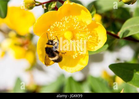 Bumble Bees sammeln Pollen von Rose von Sharon - Stockfoto