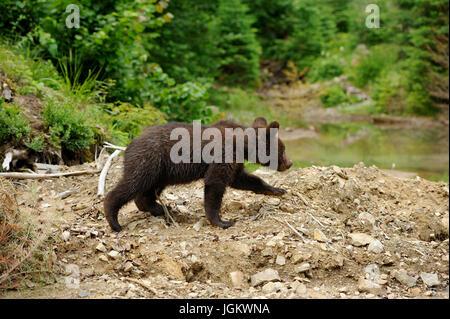 Cub Braunbär in der Sommer-Natur - Stockfoto