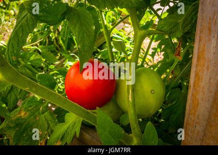 Tomaten an den Rebstöcken im Central Valley in Kalifornien - Stockfoto