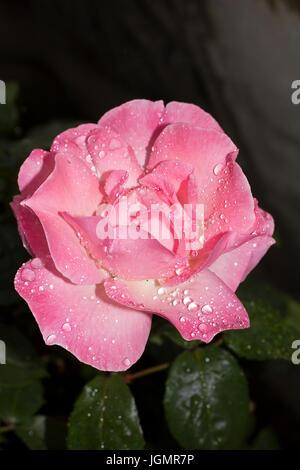 Blumen in englischen Gärten nach dem Regen. Tröpfchen Regen auf rosa Rosen und Kapuzinerkresse - Stockfoto