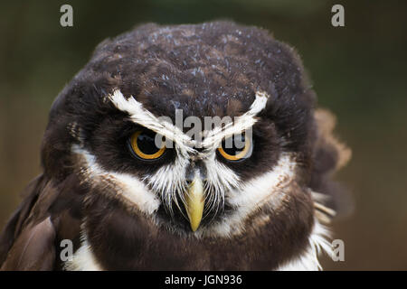 Spectacled owl pulsatrix perspicillata captive-uk - Stockfoto