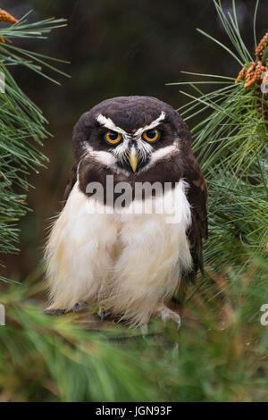Spectacled Owl (pulsatrix perspicillata) unverlierbaren-uk - Stockfoto