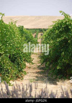 Reihen von Trauben wachsen in den Weinberg - Walla Walla, WA. USA - Stockfoto
