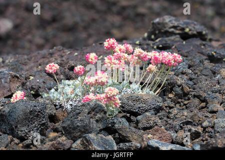Rosa Kissen Buchweizen (Eriogonum Ovalifolium) im Krater des Moon National Monument & bewahren, Idaho, USA - Stockfoto