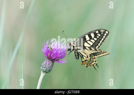 Schwalbenschwanz Schmetterling, Papilio Machaon Britannicus. Norfolk Broads, UK. Juni. - Stockfoto