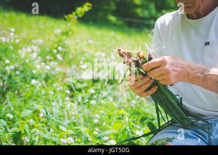 Älterer Mann schneiden die Spitzen aus Zwiebeln. - Stockfoto
