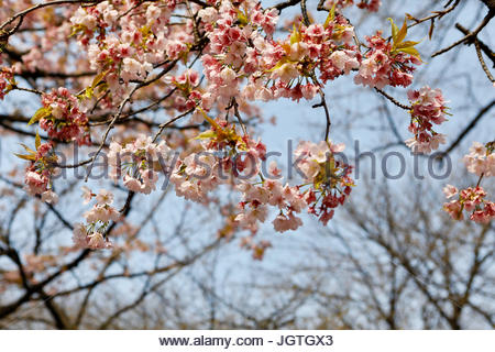Kirschblüten beginnen zu in Shinjuku Gyoen zu blühen. - Stockfoto