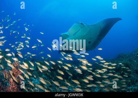Riesigen Manta schwimmen über einen kleinen Fischschwarm, Cancun, Mexiko - Stockfoto