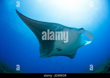 Riesigen Manta schwimmen in Karibik klares Wasser, Cancun, Mexiko - Stockfoto