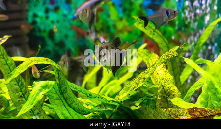 Symphysodon Discus in einem Aquarium auf grünem Hintergrund