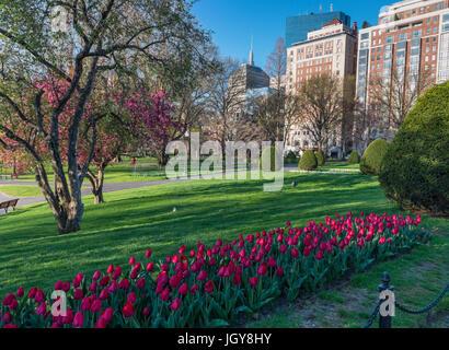 Bunter Frühling Szene der Bäume blühen mit roten Tulpen im Vordergrund bei der Boston Public Garden in Boston, Massachusetts. - Stockfoto