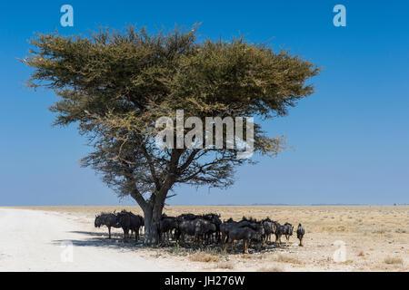 Gnus unter einer Akazie in den Etosha Nationalpark, Namibia, Afrika - Stockfoto