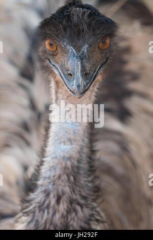 Nahaufnahme des Gesichts und des Halses von emu, Strauß-Safari-Park, Oudsthoorn, Südafrika, Afrika - Stockfoto