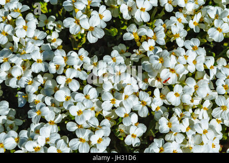 moosigen steinbrech fr hling blumen saxifraga arendsii stockfoto bild 70454366 alamy. Black Bedroom Furniture Sets. Home Design Ideas