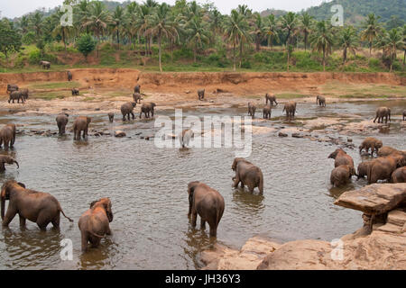 Herde der asiatischen Elefanten (Elephas Maximus) von das Pinnawela-Elefantenwaisenhaus in einem seichten Fluss. - Stockfoto
