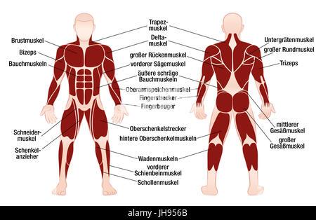 Muskel Chart - deutsche Beschriftung - die wichtigsten Muskeln des ...