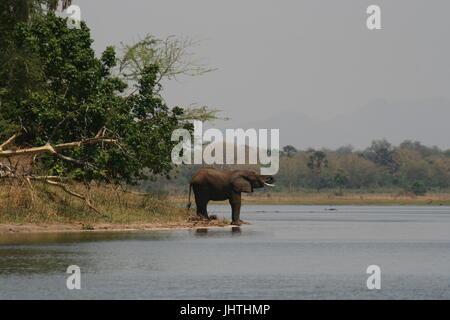 Afrikanischen Bush Elefanten im Wasser - Stockfoto