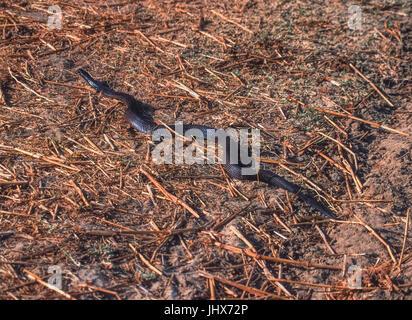 Indische Kobra oder Spectacled Cobra, (Naja naja), Keoladeo Ghana National Park, Bharatpur, Rajasthan, Indien - Stockfoto