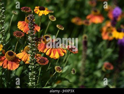 Helenium Moerheim beauty - Stockfoto