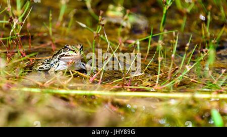 Gemeinsamen europäischen Wasser Frosch, grün Frosch in seinem natürlichen Lebensraum, Rana esculenta - Stockfoto