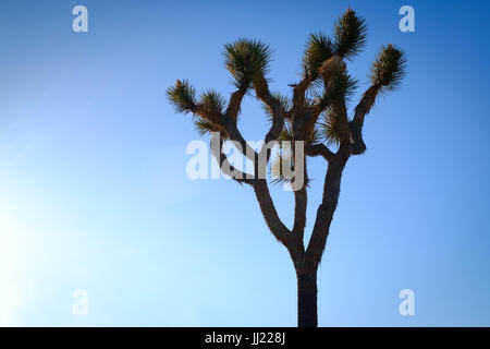 Joshua Tree Kaktus Silhouette gegen Dämmerung Himmel, Joshua Tree National Park. Kalifornien USA - Stockfoto