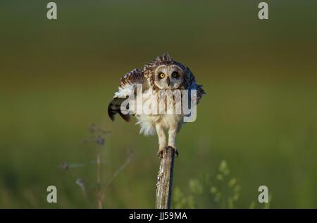 Sumpfohreule (Asio Flammeus) thront auf einem Pfosten sein Gefieder schütteln - Stockfoto